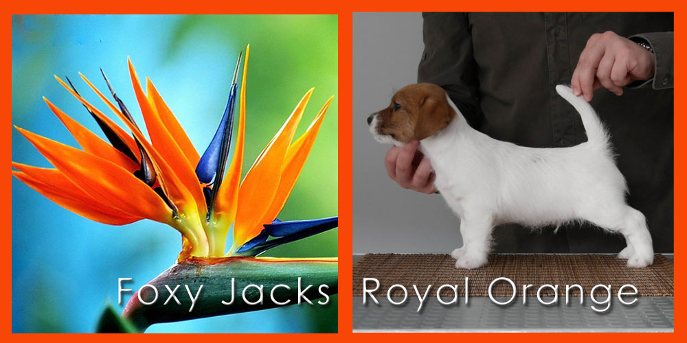 20180501 Foxy Jacks Royal Orange